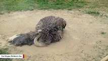 No Water Needed: This Ostrich Is Taking A Dust Bath
