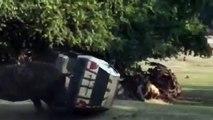 Un rhinocéros charge la voiture de la gardienne