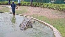 Ce crocodile énorme est la star d'un parc animalier en Nouvelle Guinée