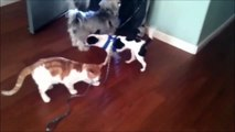 This demonic cat prevents the dog from going for a walk ... Who is the boss - !!! AAAA