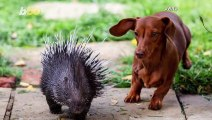 Adorable Must-See Video Shows Rescued Porcupine Playing with His New BFF: A Dog Named Fig