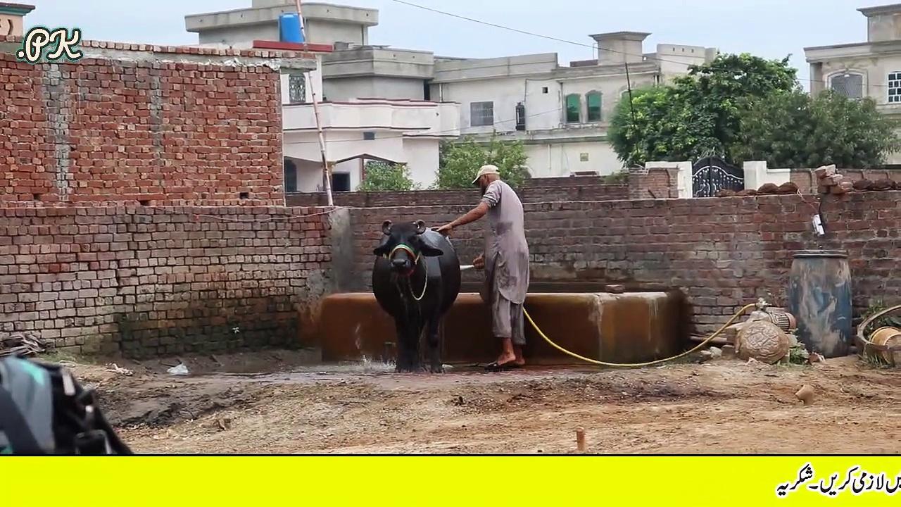 Fahad Buffalo Farm | Buffaloes Dairy Farming in Urdu | Dairy Farming | Buffaloes Farming Tips — 3 بھینسوں سے 32 بھینسوں تک کا سفر سچے ,محنتی اور ایماندار نوجوان بھائی کا زبردست انٹرویو