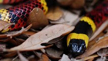 Snake with Triangle Shaped Head - Venomous  The Diamondbacked Water Snake