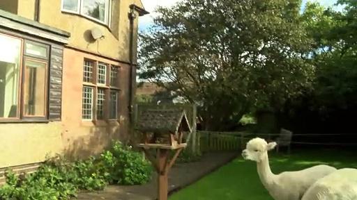 Quirky Alpacas