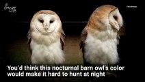 Barn Owls Stun Their Prey By Reflecting Moonlight