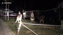 Il découvre 3 kangourous en pleine confrontation dans son jardin en pleine nuit