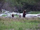 Un ours fait la rencontre d'un loup... Incroyable