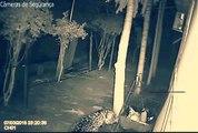 Les caméras de surveillance de cette maison filme une panthère qui s'introduit sur leur terrain