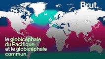 Souvent confondu avec le dauphin, qu'est-ce qu'un globicéphale ?