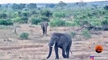 Un rhinocéros défend son bébé attaqué par un éléphant !
