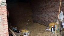 Buffaloes Farming in Urdu/ Hindi | Dairy Farming Business | Buffaloes Farming Tips | Buffalo Farm