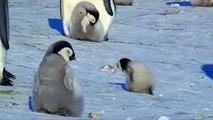 Voici la preuve que l'exploration est l'essence même de la vie d'un pingouin. Observez !