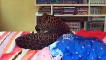 Ils découvrent un léopard domestiqué chez leur voisin