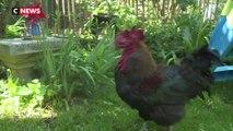 Ile d'Oléron : la justice autorise le coq Maurice, jugé «trop matinal», à continuer de chanter