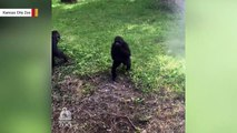 This Is The Happiest Gorilla In Town, Thanks To Sprinklers