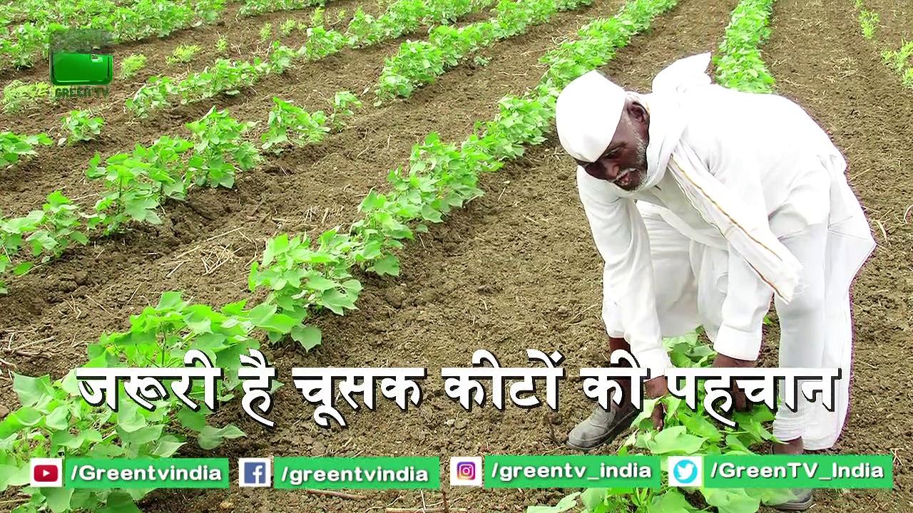 Kisan जो करते है Kapas की Kheti, जाने फसल में चूसक कीट लगने पर क्या करें | Cotton farming  | Kapas Farming
