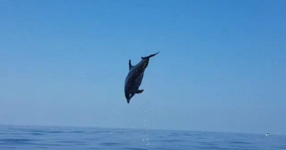 Une maman dauphin offre un spectacle incroyable à des pêcheurs qui ont libéré son bébé d'un filet de pêche !