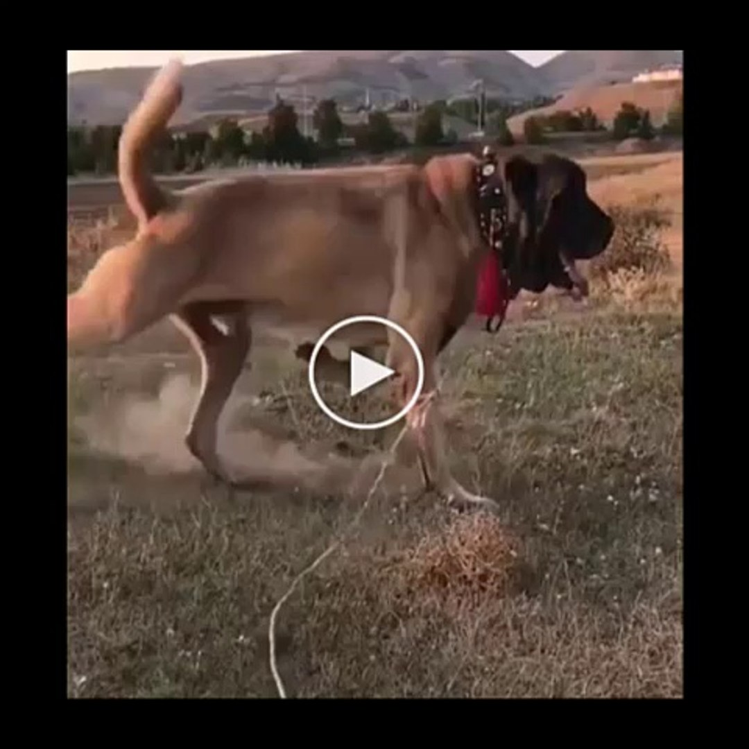 4 4 DEV MALAKLI COBAN KOPEGi - GiANT ANATOLiAN MALAKLI SHEPHERD DOG
