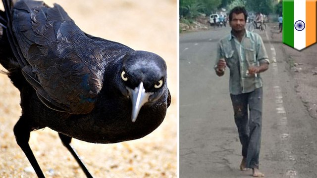 Crows with thirst for revenge attack Indian man every day