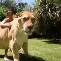 Ce tigre est le plus gros félin du monde. Admirez !