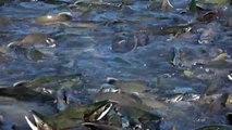 Des millions de saumons envahissent les rivières d'Alaska. Impressionnant