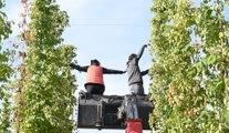 Lantin : la première récolte de houblons de la coopérative Liégeoise