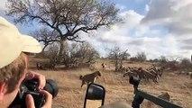 Face à Face entre un Lion et des Hyènes pour voler la viande !