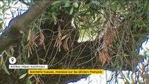 Xyllela fastidiosa, la bactérie qui menace les oliviers français
