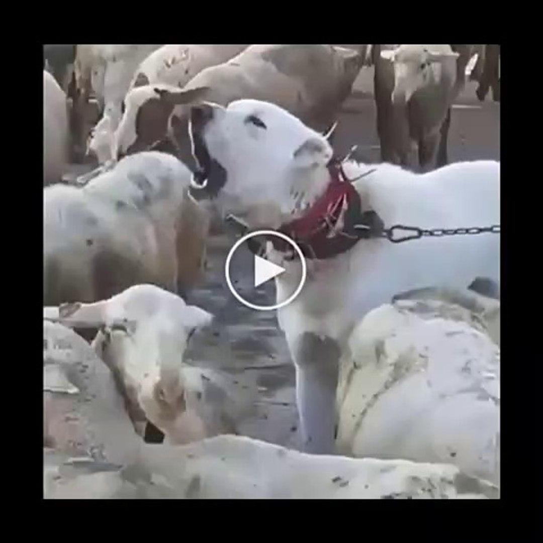 AKBAS COBAN KOPEGi GOREV BASINDA - ANATOLiAN SHEPHERD AKBASH DOG