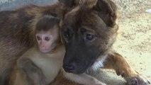 رفاقت بچه میون یک ماهه با سگهای چینی