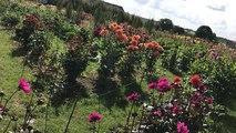 Papillonnage dans les parterres du festival des dahlias