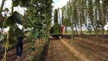 Récolte du houblon à Forrest Farm