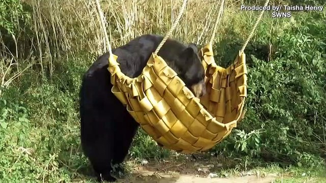 Black Bear Relaxes in Hammock to Soak up Some Sun