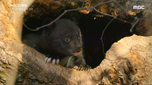 [NATURE] a mother bear who is hunting for her young,MBC 다큐스페셜 20190909