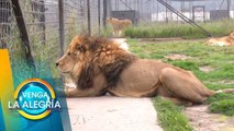 Conoce junto con Sergio Sepúlveda el Santuario de felinos más grande del mundo.   Venga La Alegría