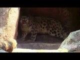 Llega un leopardo de las nieves al Zoológico de Chapultepec