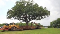 Ils utilisent 3 pelleteuses pour déplacer un chêne centenaire de 234 tonnes sur 500m