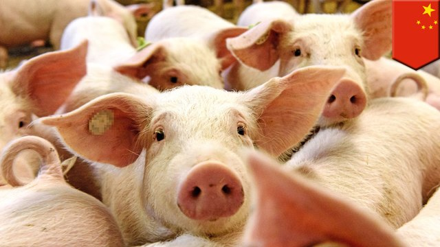 Swine fever outbreak forces China to release emergency pork reserve