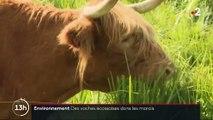Environnement : les vaches écossaises pour un élevage plus écoresponsable