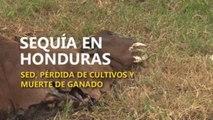 Sequía en Honduras, pérdida de cultivos y muerte de ganado