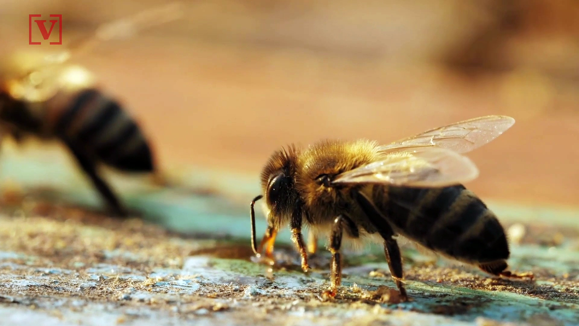 Male Honey Bees Blind Queens After Mating For This Reason