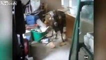 Taser sur une chèvre énervée, elle lui fonce dessus !