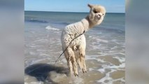 Pures Glück: Alpaka hüpft in der Brandung