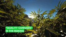 The Dutch government wants to legalize marijuana production