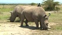 Creati due embrioni per salvare il rinoceronte bianco del Nord