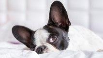 Cómo limpiar los oídos a tu perro de manera sencilla