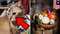 Kucing ini menangis, karena ada irisan bawang bombay di sampingnya - TomoNews