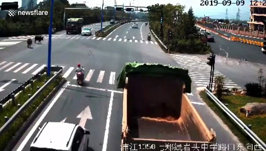 Runaway cattle battle it out in front of traffic on busy Chinese road