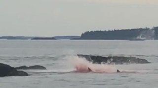 Great White Shark Attacks and Kills Seal