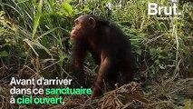 En RDC, trois chimpanzés ont été relâchés dans un sanctuaire à ciel ouvert